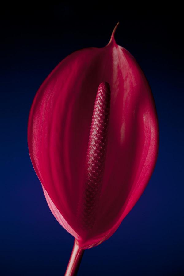 flamingo blume